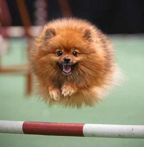 Собаки. Рекордный прыжок.