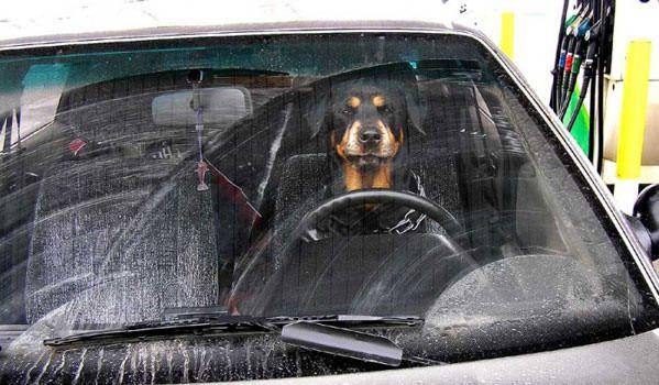 Собака за рулем.