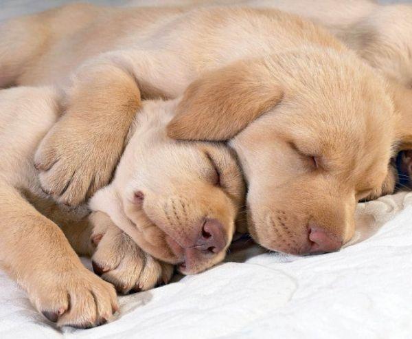 симпатичный спящий щенок