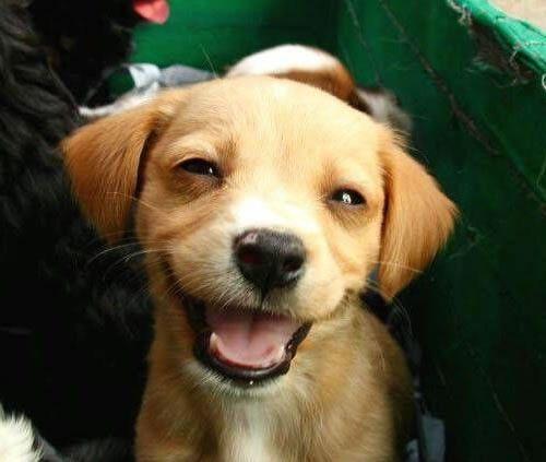 улыбающийся щенок