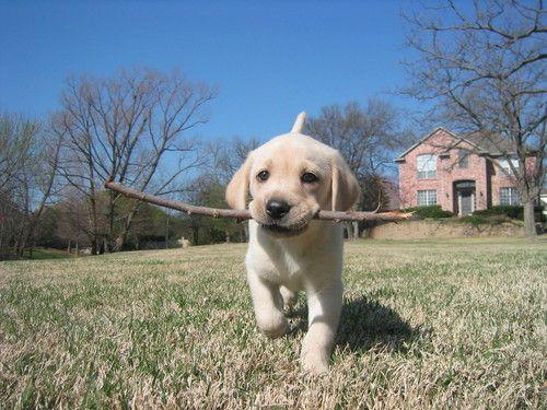щенок с палкой